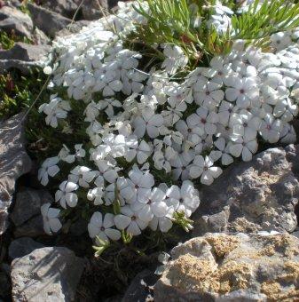 Алпийски Флокс бял