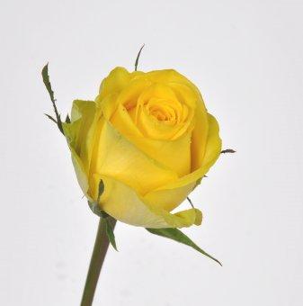Роза жълта в контейнер