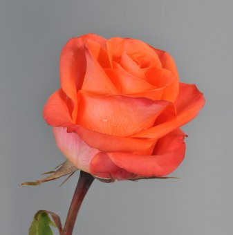 Роза оранжева в контейнер