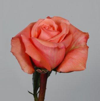 Роза цвят праскова в контейнер