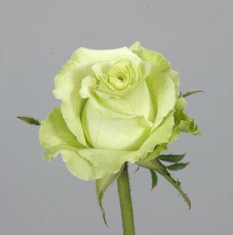 Роза зелена в контейнер