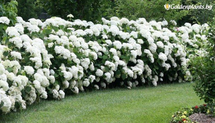 Снимка Хортензия 'Annabelle' / Hydrangea arborescens Annabelle /