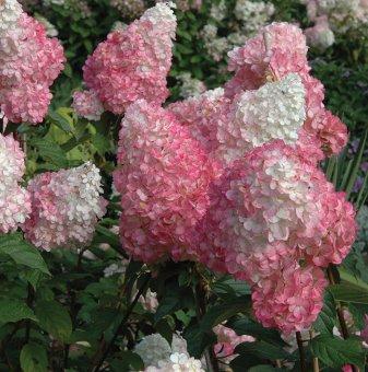 Хортензия Pink Diamond/ Hydrangea pan. Pink Diamond/..