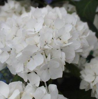 Хортензия Soeur Therese/ Hydrangea macr. Soeur Therese/..