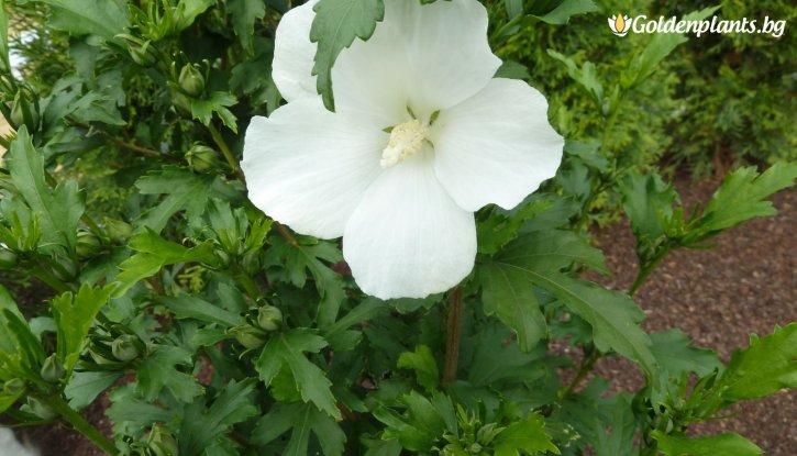 Снимка Хибискус Градински Totus Albus/ Дървовидна Ружа /Hibiscus Syriacus - Totus Albus/