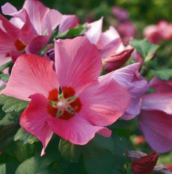 Хибискус Градински Woodbridge/ Дървовидна Ружа /Hibiscus Syriacus - Woodbridge/..