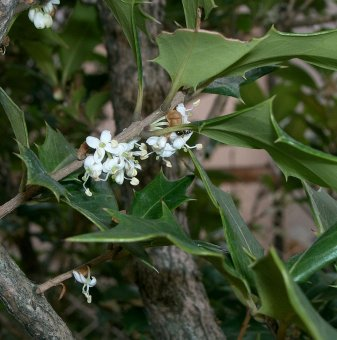 Османтус / Osmanthus heterophyllus /