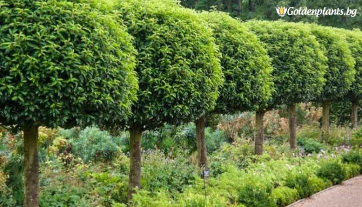 Снимка Португалска череша / Prunus lusitanica /
