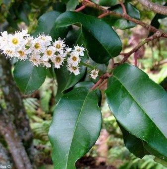 Португалска череша / Prunus lusitanica /