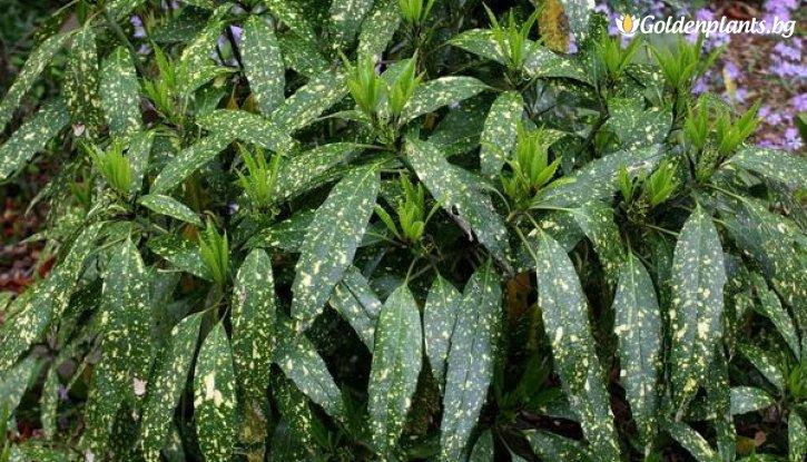 Снимка Японска аукуба / Aucuba japonica /