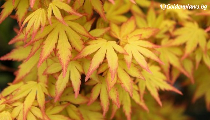 Снимка Японски клен Orange Dream / Acer Orange Dream /