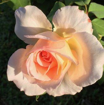 Роза цвят праскова, катерлива в контейнер