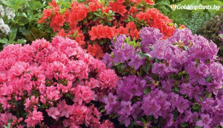 Снимка Азалия японика - розова/ Azalea japonica /