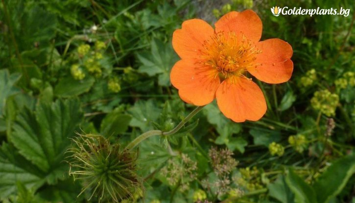 Снимка Омайниче оранжево / Geum /