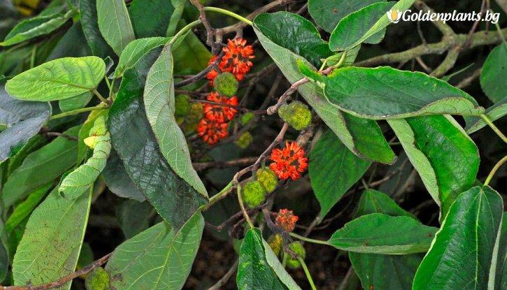 Снимка Хартиено дърво / Broussonetia papyrifera /