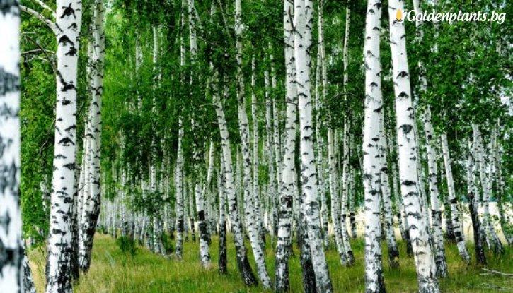 Снимка Бреза 60-70 см / Betula pendula /