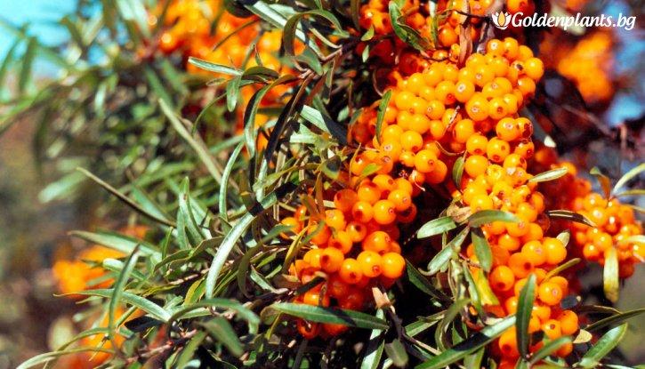Снимка Облепиха 40-80 см / Hippophae rhamnoides /