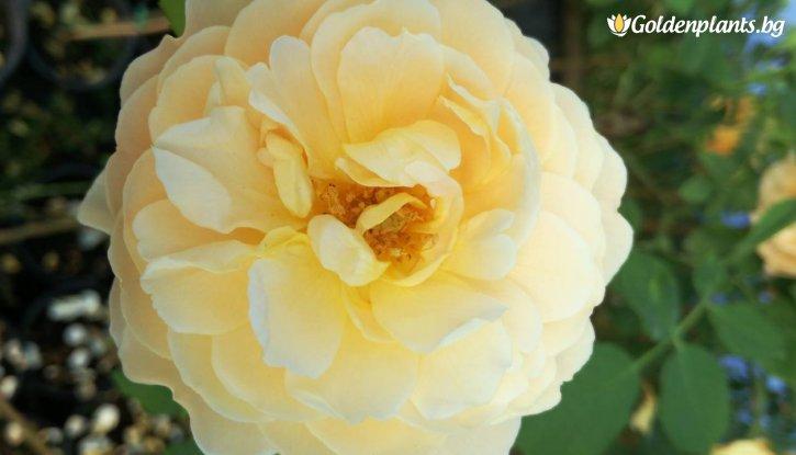 Снимка Жълта божуреста щамбова роза - Дърво 110 - 140 см.