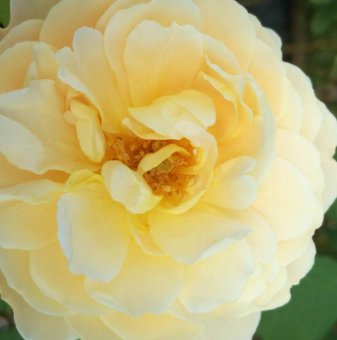 Жълта божуреста щамбова роза - Дърво 110 - 140 см...