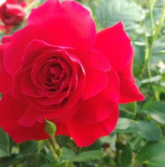 Тъмно розова щамбова роза - дърво 110-140 см...