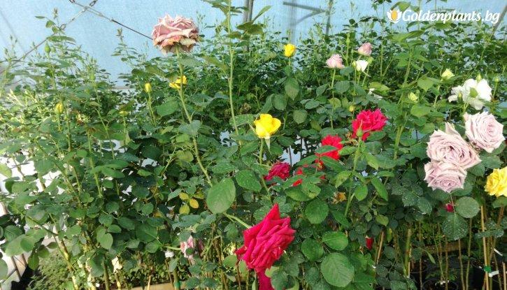 Снимка Тъмно жълта + цикламена + лилава  щамбова роза - дърво 110-140 см