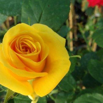 Тъмно жълта + цикламена + лилава  щамбова роза - дърво 110-140 см...