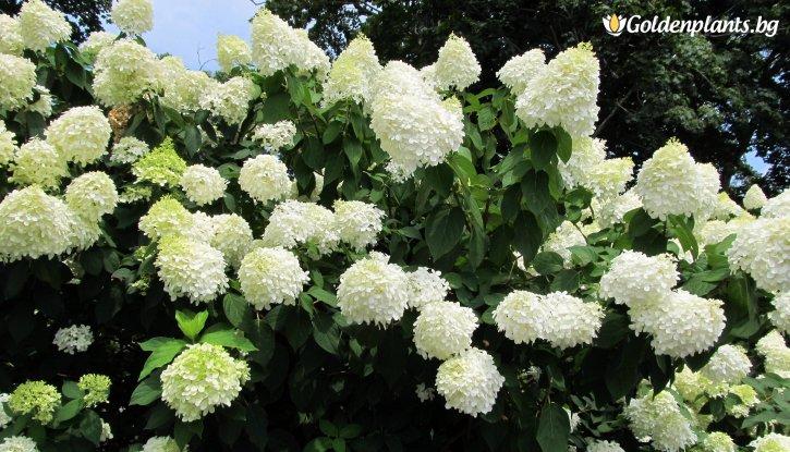 Снимка Метличеста хортензия / Hydrangea grandiflora /