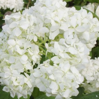 Метличеста хортензия / Hydrangea grandiflora /
