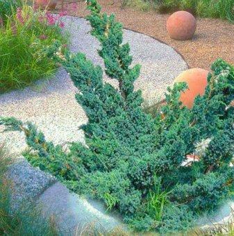 Юниперус Майер / Juniperus Mayeri /
