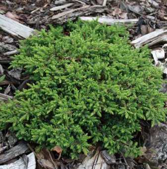 Юниперус Green Carpet / Juniperus Green Carpet /