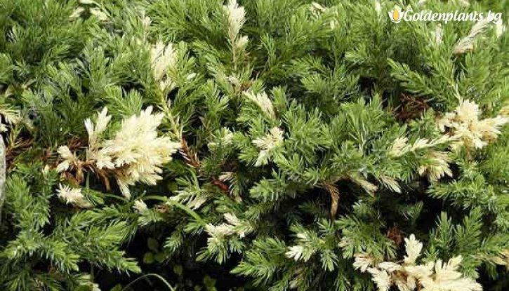 Снимка Сабина variegata / Juniperus Sabina Variegata /
