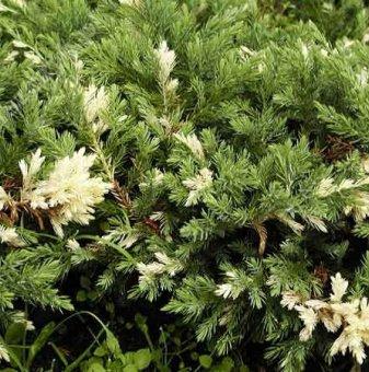 Сабина variegata / Juniperus Sabina Variegata /