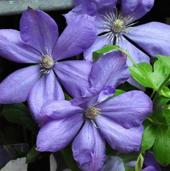 Клематис Мисис Чолмондели /Clematis mrs cholmondeley/  ..