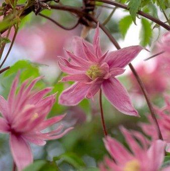 Клематис Розов сън /Clematis pink dream/
