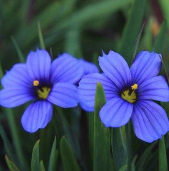 Трева Синьо око /Sisyrinchium/