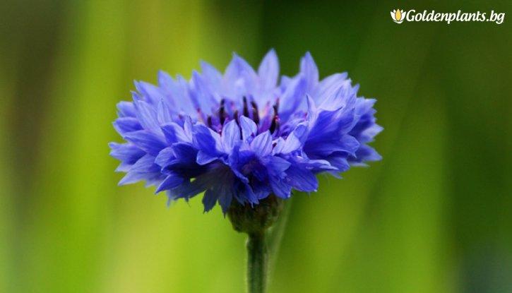 Снимка Синя метличина /Centaurea cyanus/