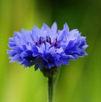 Синя метличина /Centaurea cyanus/