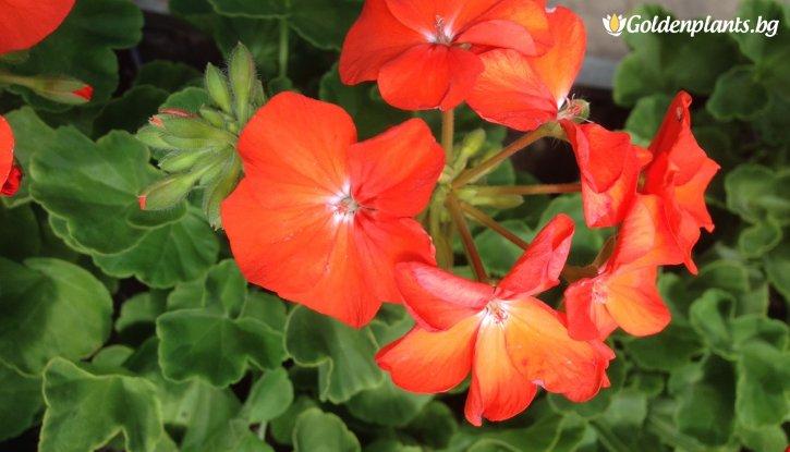 Снимка Мушкато Оранжево /Pelargonium/