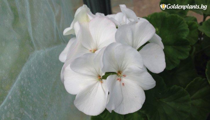Снимка Мушкато Бяло /Pelargonium/