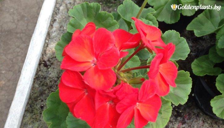 Снимка Мушкато Червено /Pelargonium/