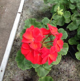 Мушкато Червено /Pelargonium/