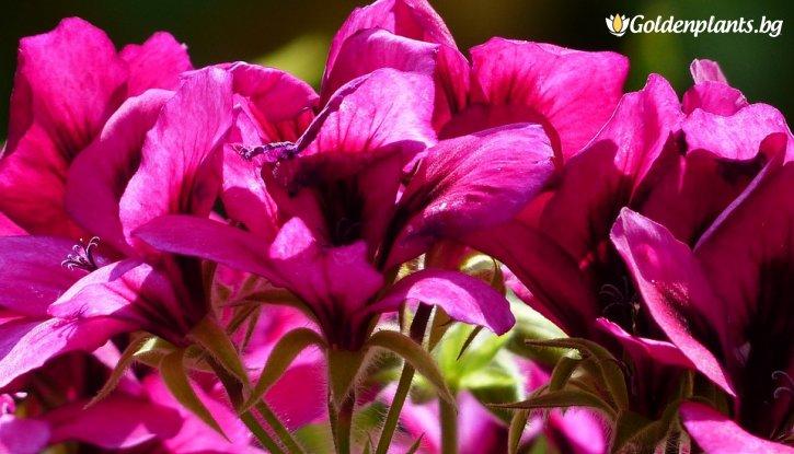 Снимка Мушкато Виолетово /Pelargonium/