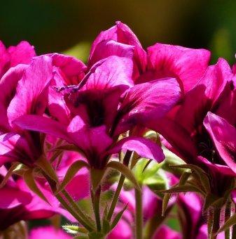 Мушкато Виолетово /Pelargonium/