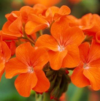 Мушкато Оранжево /Pelargonium/