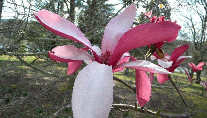 Снимка Магнолия  Кралска Корона /Magnolia Royal Crown/