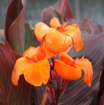 Кана Лилия 40-60 см /Canna Lily/