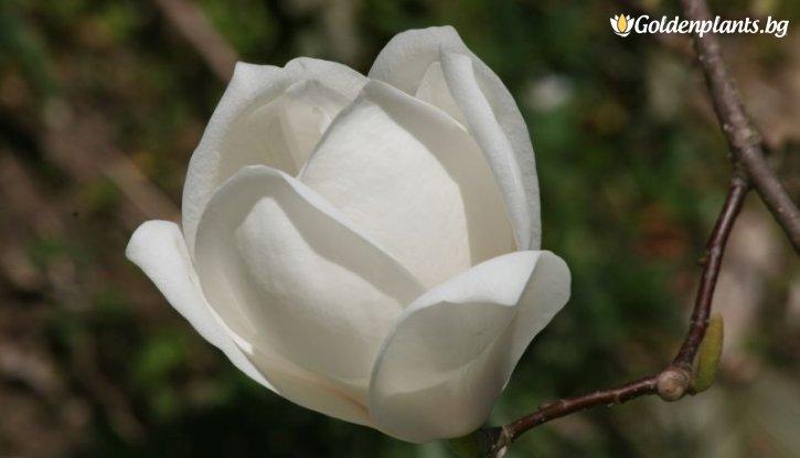 Снимка Магнолия Пикчър /Magnolia Picture/