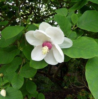 Магнолия Сиеболди /Magnolia Sieboldii/