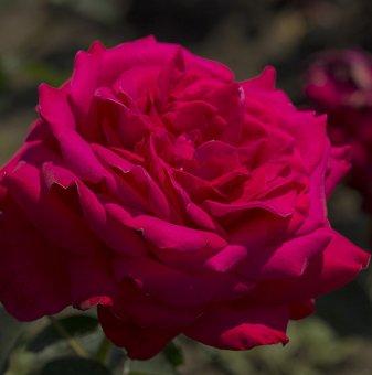 Цикламено-червена щамбова роза - дърво 110-140 см