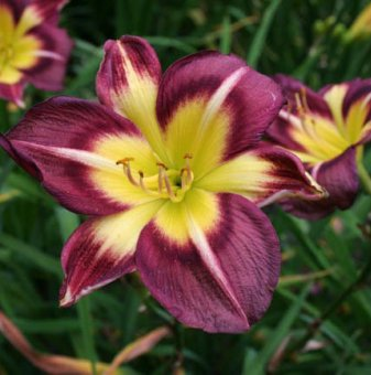 Хемерокалис night beacon / Hemerocallis night beacon /..